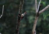 大翅啄木 White-backed Woodpecker:A23P8615.jpg