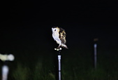 草鴞Grass Owl:A23P9533.jpg