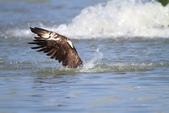 魚鷹 Osprey 捕魚:IMG_0888.JPG