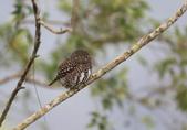 鵂鶹Collared owlet:A23P9099.jpg