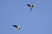 黑翅鳶 Black shouldered kite:IMG_9840.jpg
