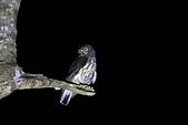 褐鷹鴞 Brown Hawk Owl :IMG_1076.JPG
