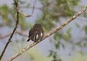 鵂鶹Collared owlet:A23P9331.jpg