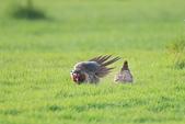 環頸雉 Common Pheasant:A23P1483.jpg