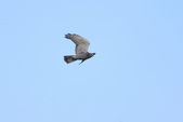 灰面鵟鷹 Grey-faced Buzzard:A23P3223.jpg