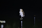 草鴞Grass Owl:A23P9520.jpg