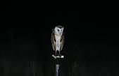 草鴞Grass Owl:A23P0112.jpg