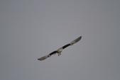 黑翅鳶 Black shouldered kite:IMG_0210.JPG