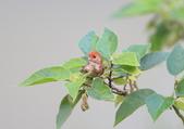枌紅鸚嘴 Vinous-throated Parrotbill:A23P5725.jpg