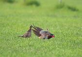 環頸雉 Common Pheasant:A23P1498.jpg
