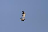 黑翅鳶 Black shouldered kite:IMG_0151.jpg
