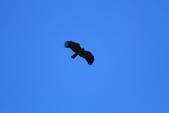 林鵰 Indian Black Eagle:IMG_1208.JPG