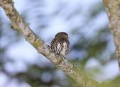 鵂鶹Collared owlet:A23P8837.jpg