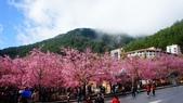 20150224武陵花祭:DSC05678.jpg