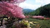 20150224武陵花祭:DSC05762.jpg