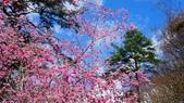 20150224武陵花祭:DSC05732.jpg