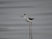 鳥:金城湖10.jpg