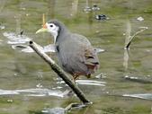 鳥:白胸苦惡鳥2.jpg