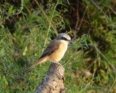 鳥:大園海邊-06.jpg