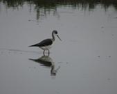 鳥:大園海邊-07.jpg