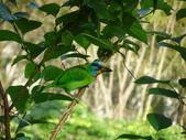鳥:五色鳥3.jpg