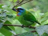 鳥:五色鳥4.jpg