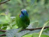 鳥:五色鳥5.jpg