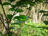 鳥:五色鳥.jpg
