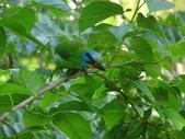 鳥:五色鳥2.jpg