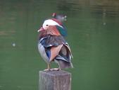 鳥:鴛鴦1.jpg