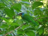 鳥:五色鳥1.jpg