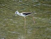 鳥:金城湖19.jpg