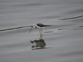鳥:金城湖9.jpg