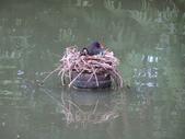 鳥:紅冠水雞3.jpg
