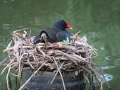 鳥:紅冠水雞4.jpg