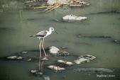 溫仔第一號排水溝~鳥群:20201111大排鳥群-004