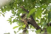 台灣鳥:台灣鳥 1091023-003