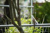 台灣鳥:台灣鳥 1091015-003