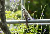 台灣鳥:台灣鳥 1091015-004
