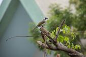 台灣鳥:台灣鳥 1091023-002