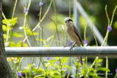 台灣鳥:台灣鳥 1091015-002