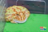 黃金角蛙~長大記:黃金角蛙~長大記 1090125-01