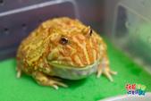 黃金角蛙~長大記:黃金角蛙~長大記 1090125-03