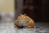 黃金角蛙~長大記:黃金角蛙~長大記 1090418-06