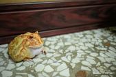 黃金角蛙~長大記:黃金角蛙~長大記 1100211-003