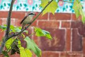 台灣鳥:台灣鳥 1091111-003
