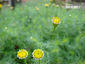 2011-02-18 春天的花兒:DSC08678.jpg