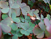 2011-02-18 春天的花兒:DSC08738.jpg