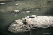 溫仔第一號排水溝~鳥群:20201111大排鳥群-002