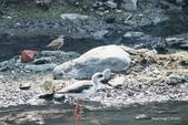 溫仔第一號排水溝~鳥群:20201111大排鳥群-014